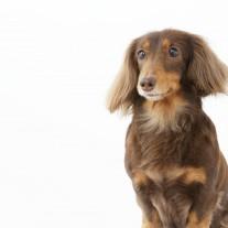 愛犬ミニチュアダックスに人間のご飯を与えていませんか? ドッグフードを食べない理由かも。