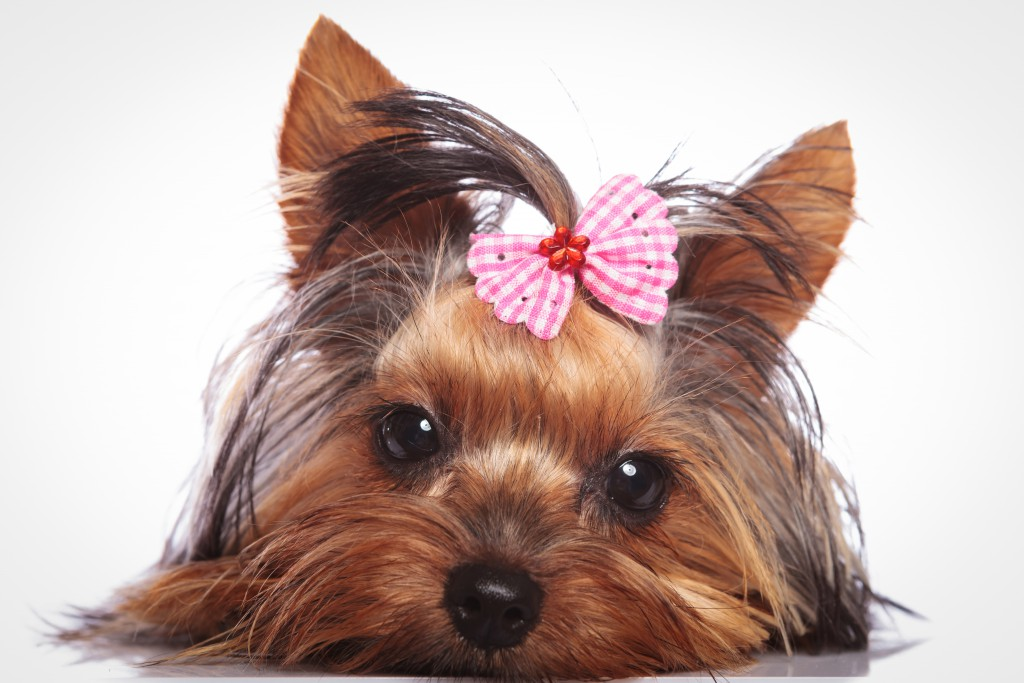 sleepy little yorkshire terrier puppy dog is lying down to rest