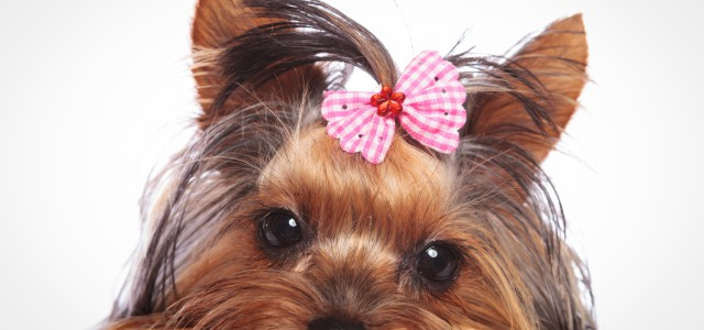 yorkshire terrier puppy dog is lying down to rest